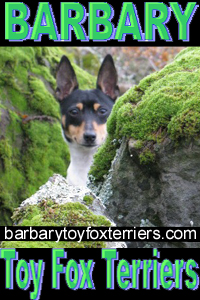Barbary Toy Fox Terriers