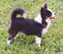 EXCELLENT TAIL ON IDEAL LONG COAT CHIHUAHUA
