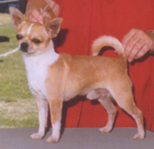 SMOOTH COAT CHIHUAHUA, MULTI-GROUP WINNER
