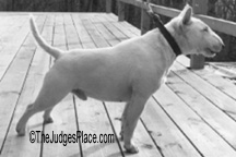 Miniature Bull Terrier Ephrain, imported by the Andrews