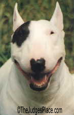 Ch. Grayoak Harvetta Wallbanger, outstanding female Miniature Bull Terrier