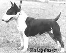 Miniature Bull Terrier female, Aust. Ch. Erenden Roxana