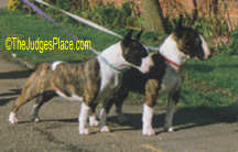 Mini-Bull Terriers owned by Mrs. Q. Youatt, England