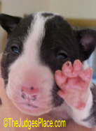 Baby Miniature Bull Terrier puppy