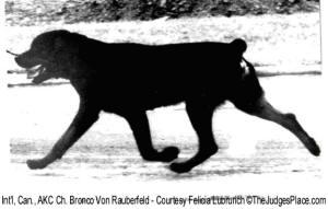 Int'l Can. Am. Ch. Bronco Von Rauberfeld, Sch3, FH, BIS - showing suspended trot
