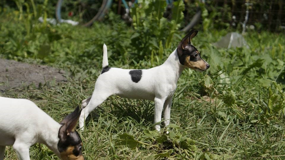 Dog Breeds With Docked Tails Naturally
