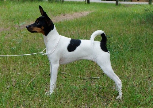 DOCKED TAIL HISTORY, PHOTO EXAMPLES OF TOY FOX TERRIERS
