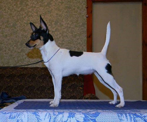 rat terrier tail