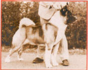 Judging Akitas means knowing correct type: Sachmo Top Sire All Working Breeds