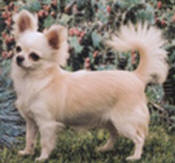 Chihuahua Type and Proportion should be stamped in the mind of every Chihuahua judge